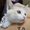 パステル三毛さん推定2カ月仮名マルです