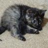 生後一ヶ月の子猫の里親さん募集 サムネイル5