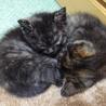生後一ヶ月の子猫の里親さん募集 サムネイル7