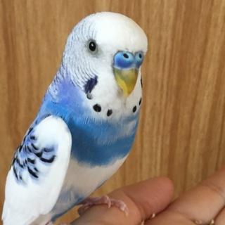 里親募集!かわいい青色!言葉を少し覚えてくれます。