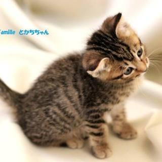 キジトラ子猫のとかちちゃん 里親募集中!