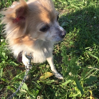 チワワ×パピヨンmix犬