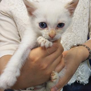 白い子猫★ハク★とても賢く思いやりのある子