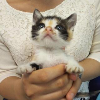 三毛猫の子猫★ちひろ★お目々ぱっちり