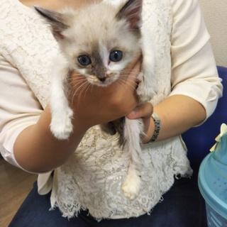 シャム系の子猫★かんた★少し臆病