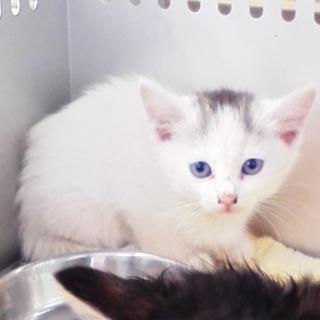 綺麗な目をした子猫ちゃんです☆期限5月28日迄!