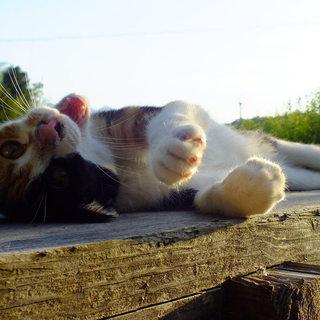 メス三毛猫1歳、スリムで毛並みがきれい