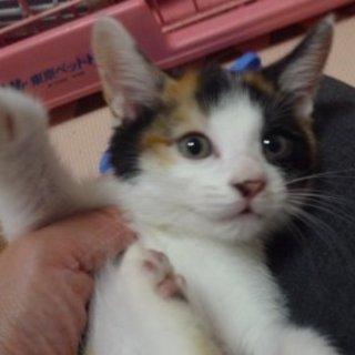 可愛い姉妹子猫・三毛&黒白