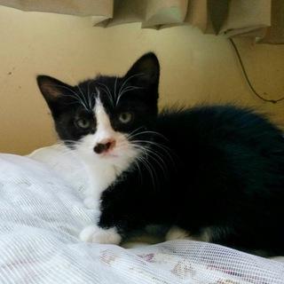 黒白ハチワレの綺麗な子猫です