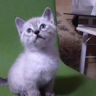 子猫①白猫ププくん 里親募集!