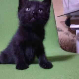 子猫②黒猫クックくん 里親募集!
