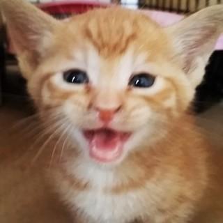 元気な茶トラの子猫