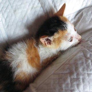 かわいい三毛の子猫です!