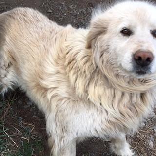 ゴールデンレトリバーの血を引いた大型犬