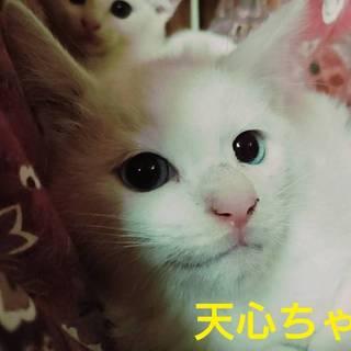 白猫かシャムmixか?天津ちゃん