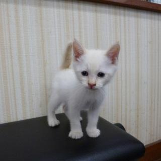 白美猫の里親募集