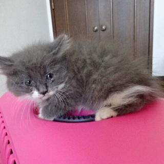 長毛のグレーの子猫