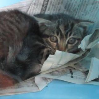 保健所収容中!助けてください!仔猫です!