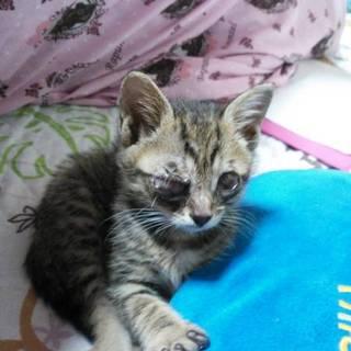 約2カ月の、キジトラ系の男の子猫の里親募集‼