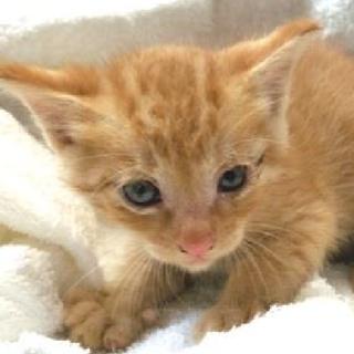 期限5月31日迄!可愛い茶トラの子猫☆