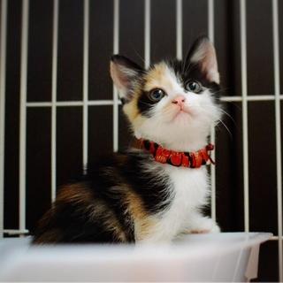 【一時募集停止】三毛猫美猫【牡丹】
