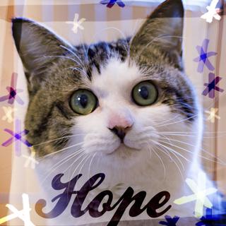 猫初心者向け抱っこ大好き♡お膝猫重量級8ヶ月ホープ