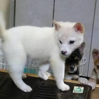 2か月の雑種犬(オス白)