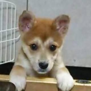 2か月の雑種犬(メス茶色)
