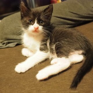 黒白ハチワレの仔猫。オス2匹。