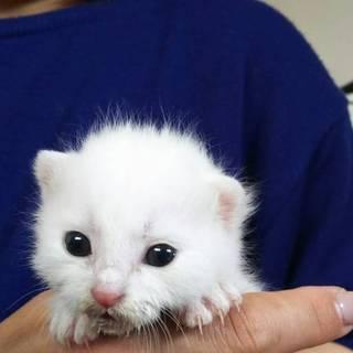 美猫白猫生後3週間ぐらい