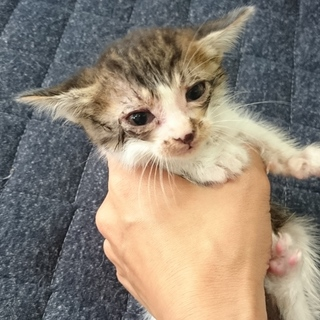 【一時停止】捨て猫 キジシロ濃いめちゃん