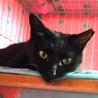 可愛い黒猫★牙チラ小悪魔★メス サムネイル6