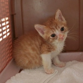生後約1.5ヶ月の茶白の子猫さん