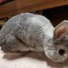 【急募 】7歳のミニウサギ