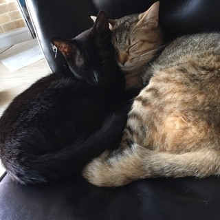 黒猫 キジ猫 里親募集