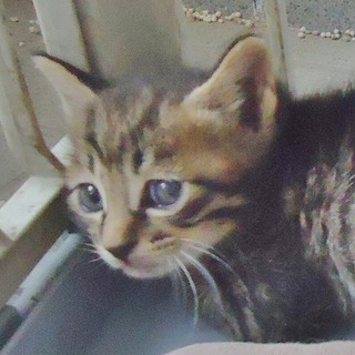 子猫1ヶ月ぐらいキジ猫