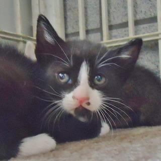 子猫白黒1ヶ月ぐらいです。