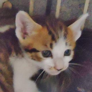 子猫1ヶ月ぐらい白キジ