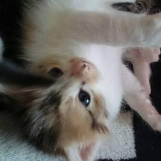 子猫の里親を探しています