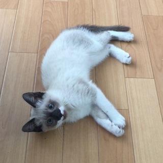 生後約2ヶ月シャム猫ハーフ?の女の子