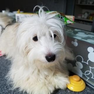 マルチーズ×ダックスハーフ犬8ヶ月