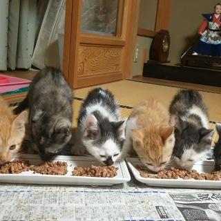 子猫(生後2ヶ月)里親募集