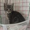 ロシアン×アメショーのような雑種の子猫
