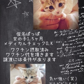 キジトラ茶仔猫ぱっぱちゃん