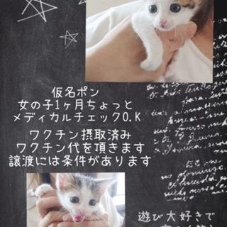 キジ白仔猫ポンちゃん