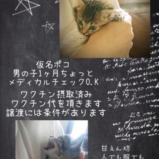 キジトラ仔猫ポコちゃん
