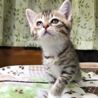 きゃわいい妹ちゃん♀キジ白の子猫