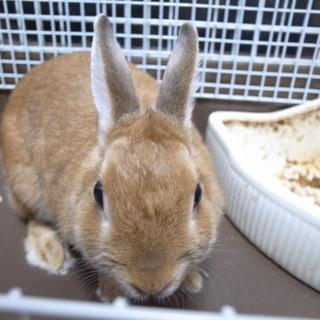 ミニウサギ ネザーランドドワーフ ♀ 3歳