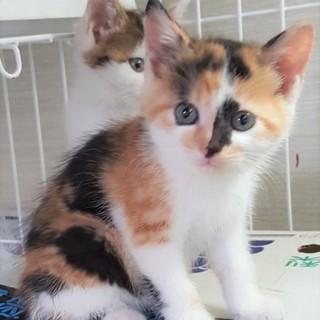 可愛い三毛子猫お腹ぽんぽこりん三姉妹で募集中!
