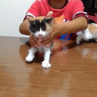 生後1ヶ月程の三毛猫です。
